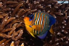 UW Empress Angelfish