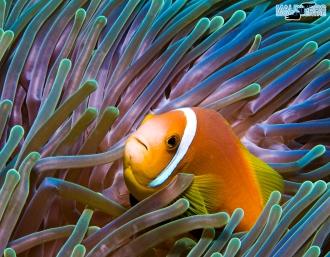 UW Maldivian Anemonefish