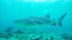 UW Whale Shark