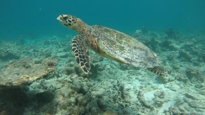 Retreat to Maldives July Day 4 Turtle